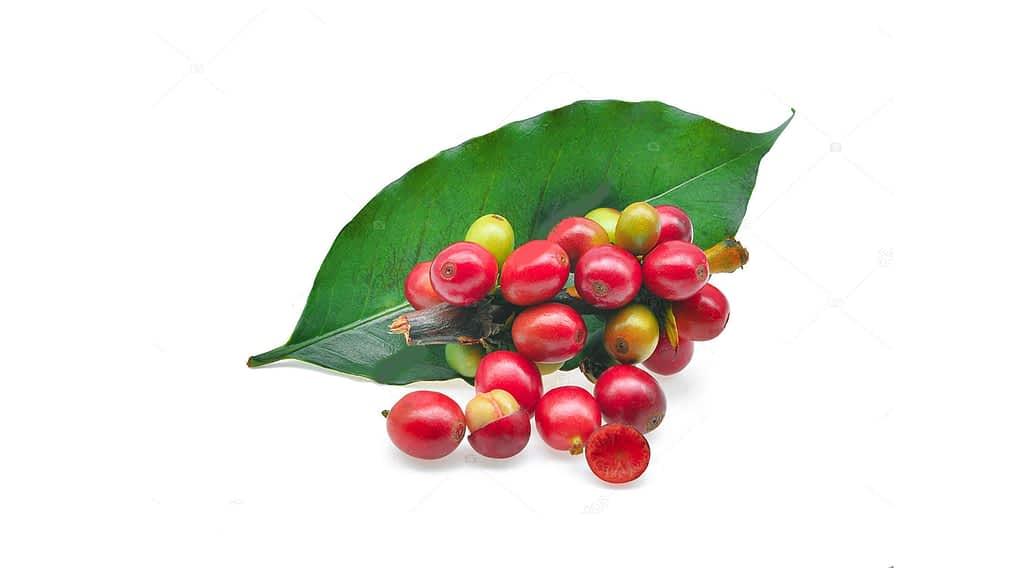 tamrin-export-coffee-cherry